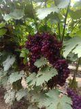 Engrais organique Unigrow microbienne sur la plantation de raisins biologiques
