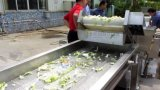 탈수하는 자동적인 식물성 양배추 시금치 세척 절단 생산 라인 가공