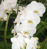 L'orchidée Phalaenopsis (18-002)