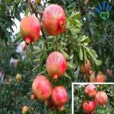 Pp.-nichtgewebtes Gewebe für Frucht-Deckel-Beutel
