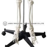 인간적인 해골 플라스틱 PVC의 모형