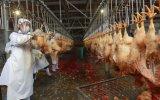 China Línea Masacre económica para pollos de engorde