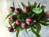 Pivoines fraîches de fleur coupée de pivoine herbacée pour la décoration