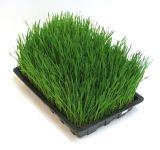 Het Groene Poeder van de organische en Gerst van de Gezondheid