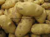 Konkurrierende frische Kartoffel 2017 mit hoher Ernte