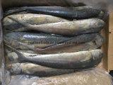 Seafrozen Fresh Mahi Mahi From中国(Coryphaenaのhippurus)