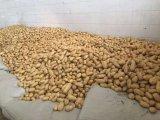 Patata fresca del nuovo raccolto (200g ed aumentano) per esportare