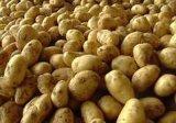 2016 sur la vente de pommes de terre fraîches de Hollande