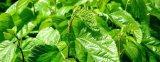 Экстракт листьев шелковицы 1 - 1% Dnj GMP и кошерная производителя