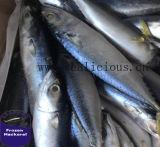 Bevroren op Vissersvaartuig, de Vreedzame IQ van de Vissen van de Makreel Gehele Ronde