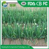 Commerce de gros oignons verts frais chinois