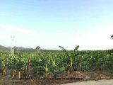 Fertilizzante organico microbico di Unigrow sulla piantatura della banana