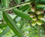 腎臓機能を改善するためのSharpleaf Galangalのフルーツのエキス