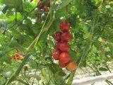 취급되는 UV를 가진 7500d PP 토마토 삼실