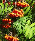 食糧および補足のためのElderberryのエキス