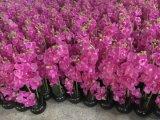 Fiori artificiali dell'orchidea 66cm Gu7262424