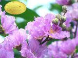 Heißer verkaufender natürlicher Banaba Blatt-Auszug