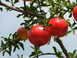100% 자연적인 즉시 석류 주스 분말 또는 냉동 건조된 석류 과일 분말