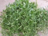 Extrato natural de 100% Andrographis Paniculata: Andrographolide 5% - 99% por HPLC; 5:1