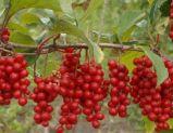 100% puros e naturais do óleo de frutos Schisandra Proteger Fígado