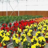 La agricultura de invernadero de plástico de bajo coste para las flores