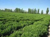 El aspartamo sustituto del azúcar orgánico Extracto de Stevia ra el 97%