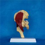 Modèle de squelette anatomique articulaire humain de haute qualité (R040104)