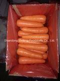Морковь нового урожая свежая красная