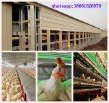 De Kooien van de kip voor Grill en Laag in het Huis van het Gevogelte met de Bouw van het Landbouwbedrijf