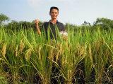 Il fertilizzante biologico di Unigrow trattato riso, migliora la qualità del riso ed il più grande rendimento