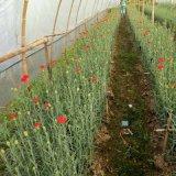 Unigrow Schmutz-Düngemittel auf Rose, Golf usw. irgendein Blumen-Pflanzen
