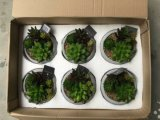 Migliori bonsai di vendita della Tabella di Gu1470626734915
