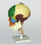 X-y-3392-12 het Model van de schedel van de aap-Mens van 8 Soorten