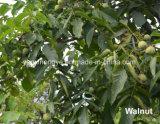 Noce della pelle della montagna verde ed organica di Taihang e noce sottili di Inshell
