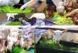 Máquina do Sprout da soja/máquina Growing do feijão