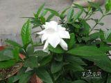 Poudre CAS# d'extrait de Gardenia : 6902-77-8 Genipin