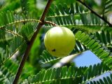 AmlaのエキスAmla Polyphenols 10-50%