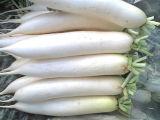 Uma boa qualidade/preço competitivo/Nova cultura/ Rabanete Branco fresco (600-800g)