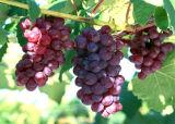 Het natuurlijke Zuivere Poeder Proanthocyanidins van het Uittreksel van het Zaad van de Druif 95% Portlandcement