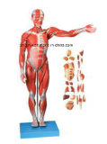 教える内臓(85cm)を持つ男性のモデルの、X-Y10001筋肉を