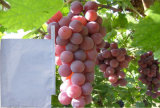 A uva revestida da fonte do fabricante cera biodegradável cresce a fruta do saco de papel protege