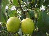 Nueva cosecha de alta calidad fresca Ya Pear (28/32/36/40/44)