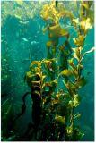 100% de adubo orgânico Ascophyllum Nodosum Extraia o fertilizante
