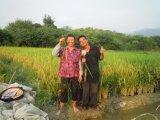 Condicionador tratado arroz do solo de Unigrow