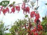 Pureza elevada Schizandra Berry Extraia 2%~9% Schisandrins por HPLC