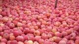 Il nuovo raccolto di FUJI Apple 2018 sugosi dolci freschi