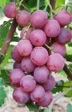 De Raisins frais (22-28)