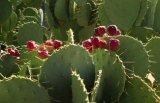 Poudre normale d'extrait de cactus d'extrait de 100%