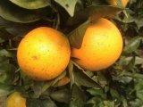 Qualidade superior para a laranja amarela do umbigo