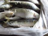 Melhor /sardinha em lata de conservas de sardinha
